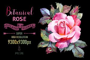 Rose flower botanical illustration