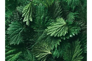 stinging nettle background texture, top view, close up