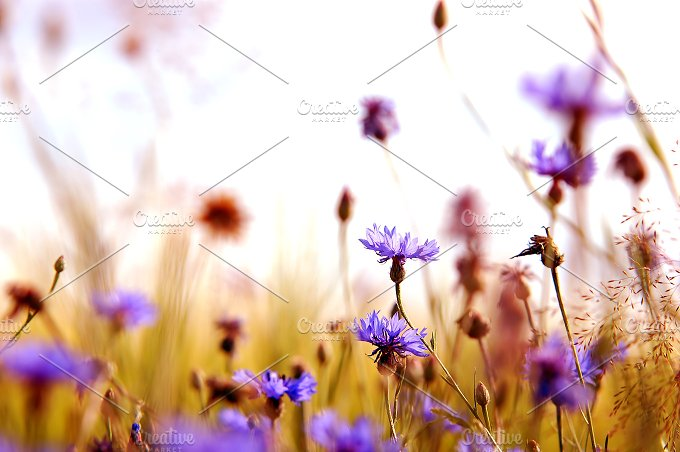 Daisies meadow. Spring background - Nature
