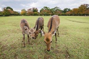 Sika deers in Nara park