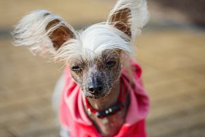 Chinese crested doggy