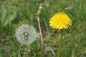 common Dandelion flower
