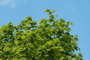 hazel tree leaves