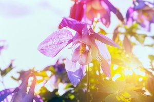 Columbine flowers in sun shine