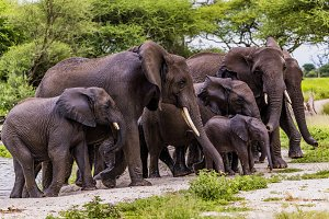 Family of African Bush Elephants