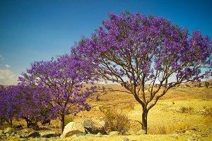 alley of Jacaranda trees at Filfil national park, Eritrea