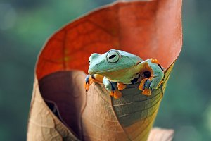 Wallace's Flying Frog on Leaves