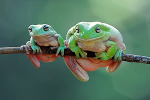 Two Big and Small Frogs on Twigs