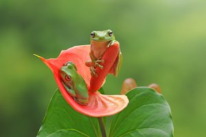 Two Frogs on a Leaf