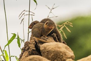 Dwarf mongoose on guard duty