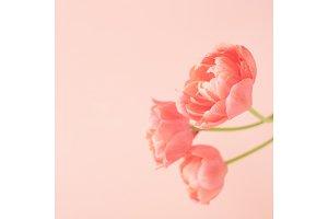Peony flowering tulips.