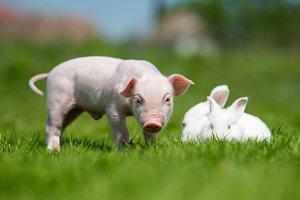 Piglet and rebbit