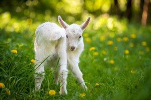 Baby white goat