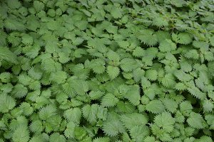 Nettle Plant Leaves Background