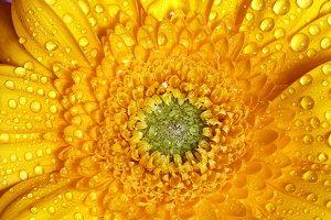 Fresh wet gerbera flower close-up