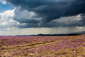 Croscus field and stormy weather