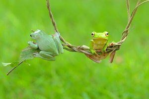 frogs, dumpy frogs in the roots