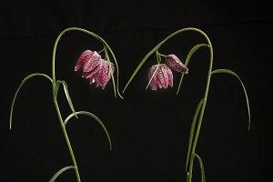Elegant chess flowers on black