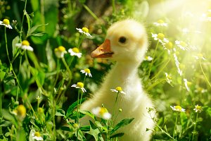 Small yellow gosling