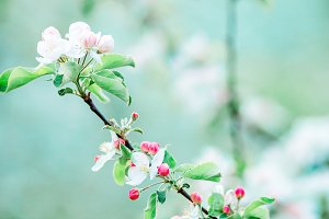 Flowers of blossoming apple tree branch on a spring day