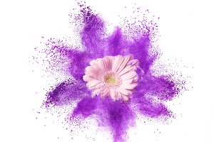 Explosion of ultraviolet powder and pink gerbera flower on a white background