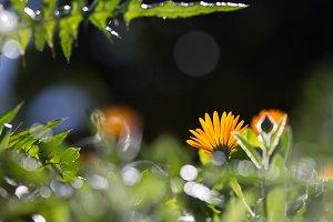 Calendula flower in the sun