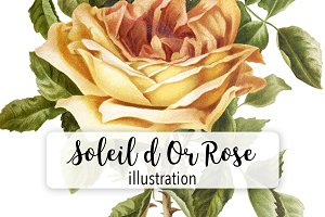 Florals: Vintage Soleil d Or Rose