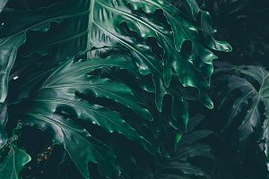 Dark green tropical leaves