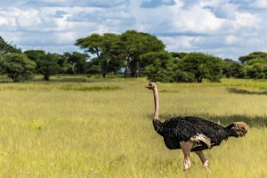 Male Ostrich in African Landscape