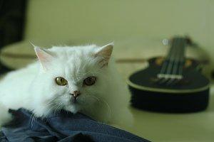 Cute Persian White Cat