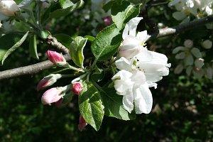 Apple trees flowers.
