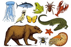 Set of animals. Reptile amphibian mammal insect. Bug Bear shell jellyfish crocodile butterfly fish lobster spider. Classification of wild creatures and biology. Engraved hand drawn old vintage sketch.