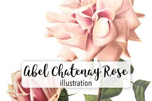 Florals: Abel Chatenay Rose