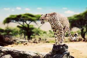 Wild cheetah sitting on a dead tree