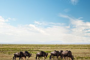 Wildebeests herd, Gnu on savanna
