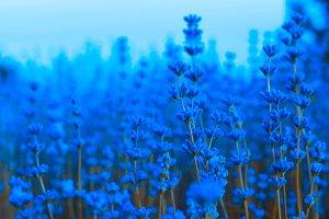 Lavender blue flowers in field