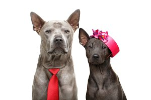 beautiful thai ridgeback dogs