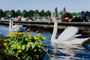 Couple of grace white grace swans on Alster lake. Unrecognizable couple kissing on pier in background on a sunny day. Hamburg