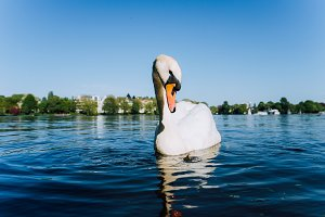 Cute white grace swan anteverted head on the Alster lake on a sunny day in Hamburg