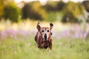 Picture of a Wiener dog
