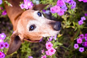 Wiener dog looking up