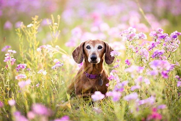 Animal Stock Photos: TC Design & Photo - Wiener dog