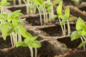 Sprouting Plants in a Row