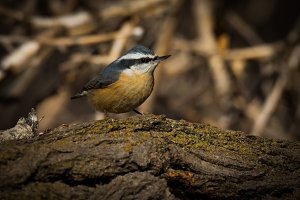 Red Breasted Nuthatch On a Limb