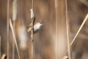 Marsh Wren Singing in the Cattails