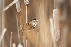 Marsh Wren in Cattails