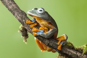 Flying Frog Wallace on a Limb