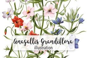 Florals: Anagallis Grandiflora