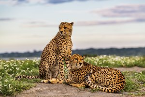 Cheetahs amongst African wildflowers