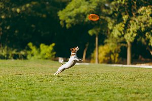 Small funny dog catching orange frisbee on the green grass. Little Jack Russel Terrier pet playing outdoors in park. Dog and toy on open air. Animal in motion background.